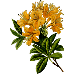 Rhododendrun svg #20, Download drawings