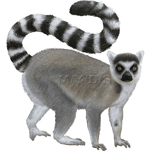 Ring-tailed Lemur clipart #7, Download drawings
