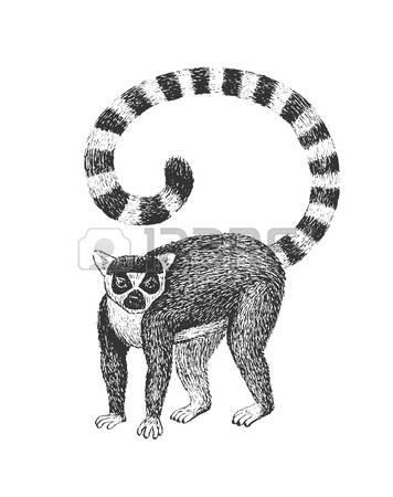 Ring-tailed Lemur clipart #10, Download drawings