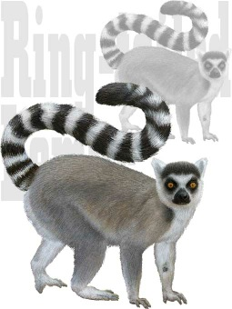 Ring-tailed Lemur clipart #3, Download drawings
