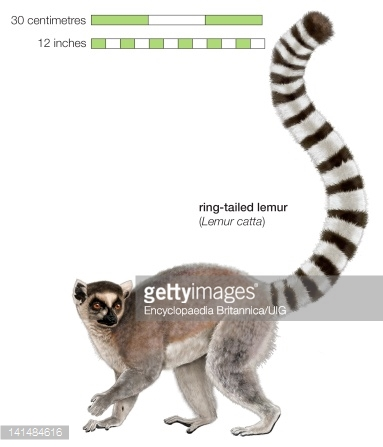 Ring-tailed Lemur clipart #12, Download drawings