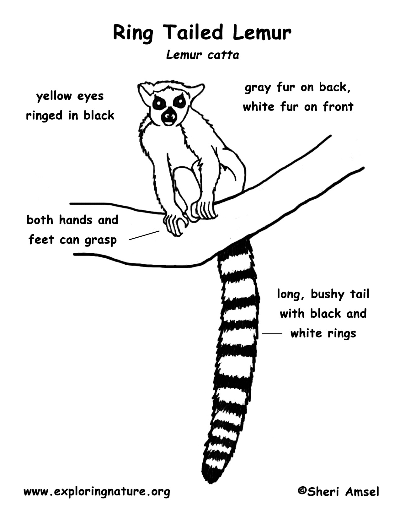 Ring-tailed Lemur coloring #18, Download drawings