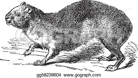 Rock Hyrax clipart #7, Download drawings