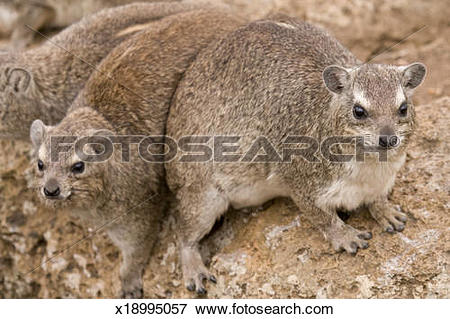 Rock Hyrax clipart #8, Download drawings