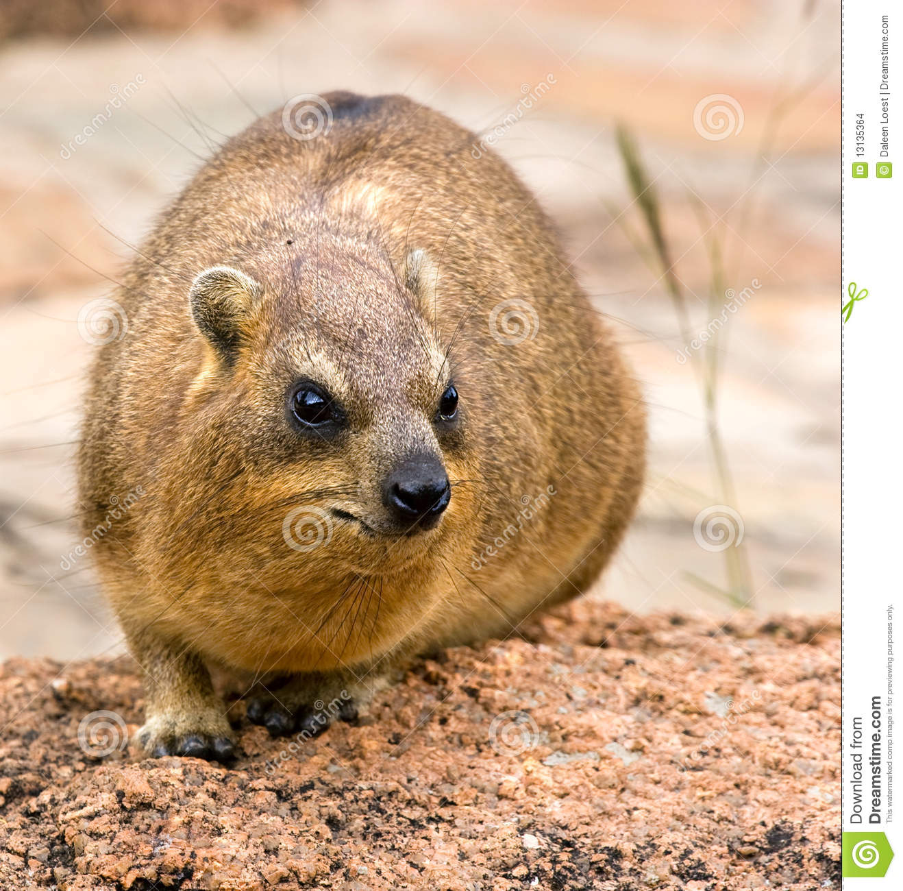 Rock Hyrax clipart #3, Download drawings
