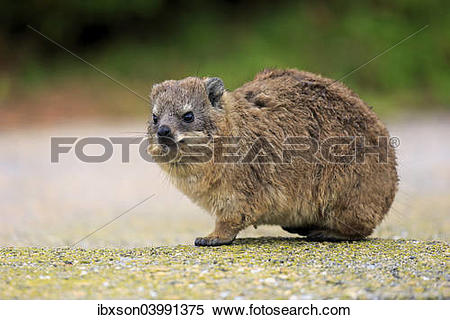 Rock Hyrax clipart #9, Download drawings