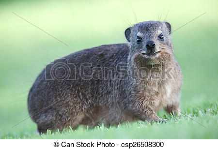 Rock Hyrax clipart #6, Download drawings