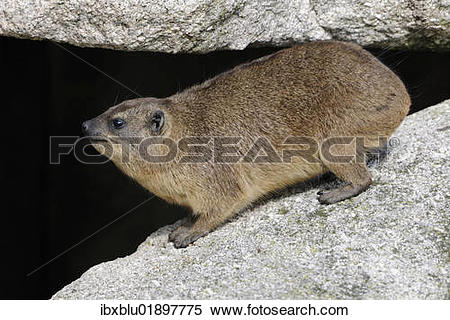 Rock Hyrax clipart #4, Download drawings