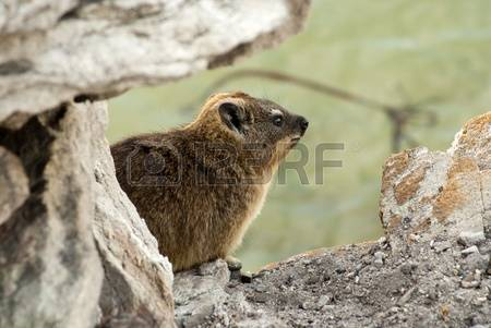 Rock Hyrax clipart #1, Download drawings