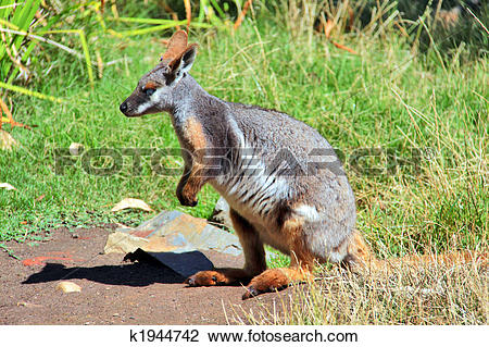 Rock Wallaby clipart #20, Download drawings