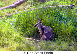 Rock Wallaby clipart #11, Download drawings