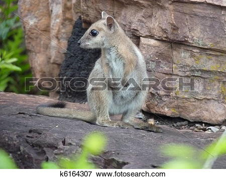 Rock Wallaby clipart #6, Download drawings