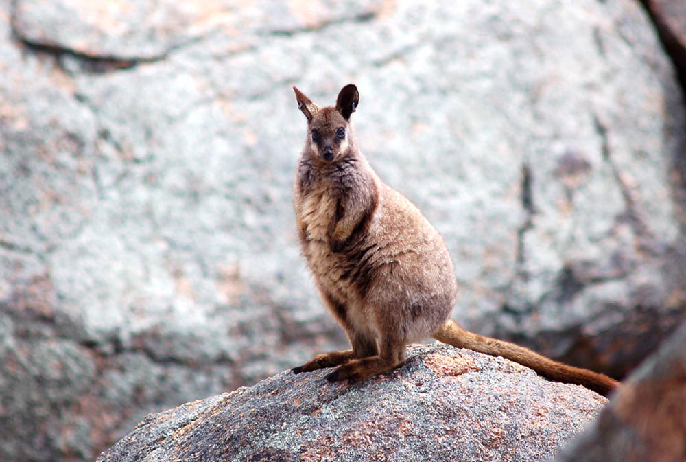 Rock Wallaby clipart #1, Download drawings