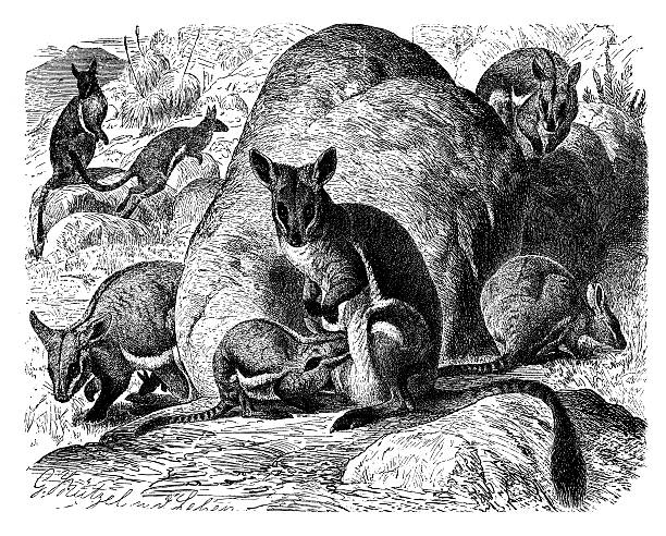 Rock Wallaby clipart #19, Download drawings