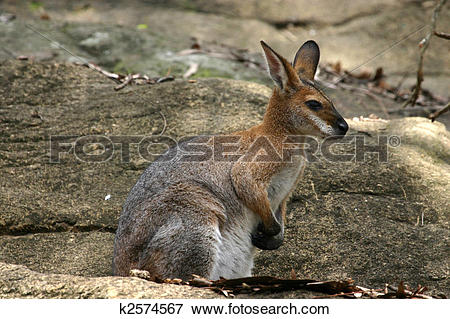 Rock Wallaby clipart #2, Download drawings