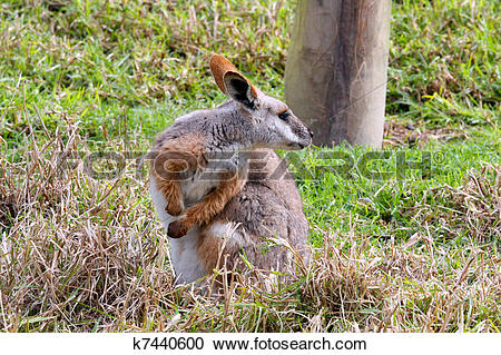 Rock Wallaby clipart #5, Download drawings