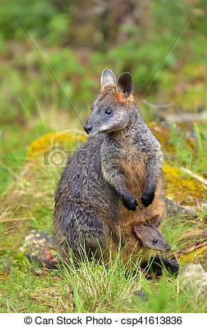 Rock Wallaby clipart #3, Download drawings