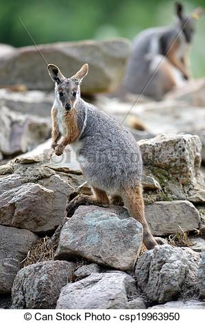 Rock Wallaby clipart #8, Download drawings