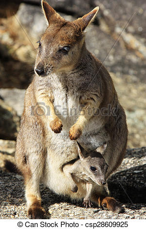 Rock Wallaby clipart #9, Download drawings