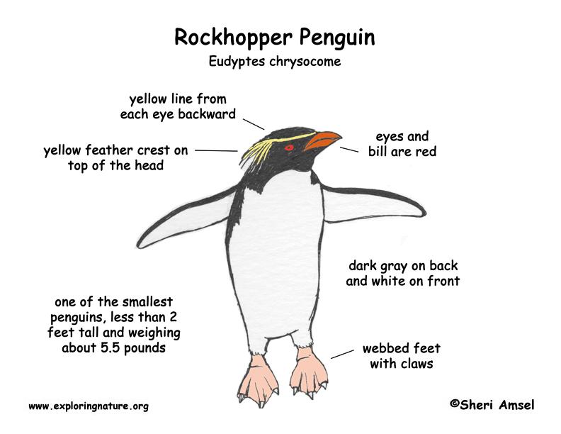 Rockhopper Penguin coloring #13, Download drawings