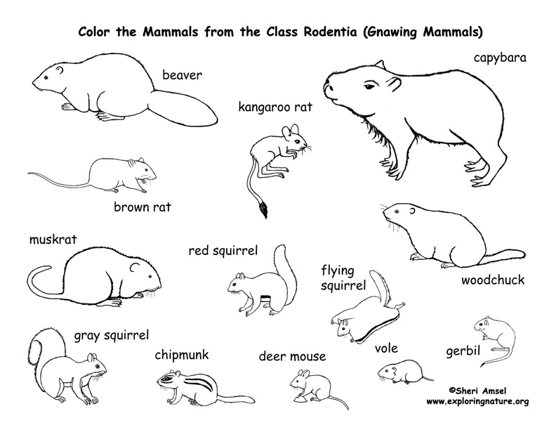 Rodent coloring #17, Download drawings