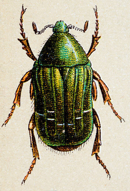 Rose Chafer clipart #17, Download drawings