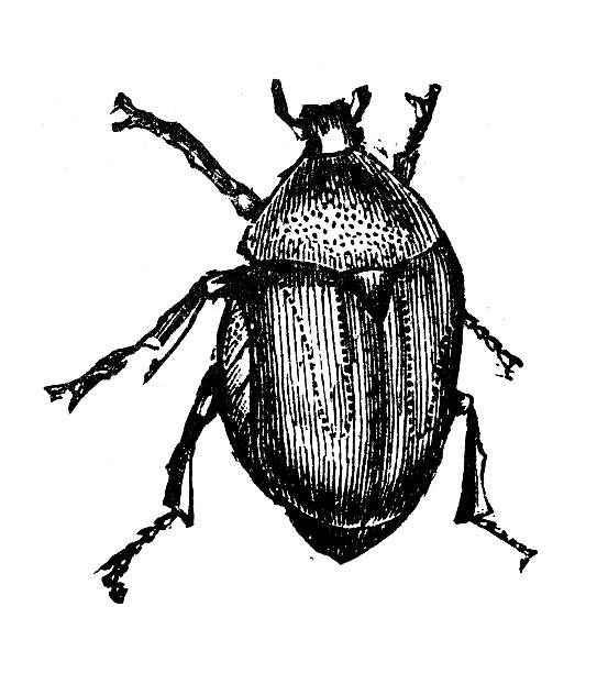 Rose Chafer clipart #15, Download drawings