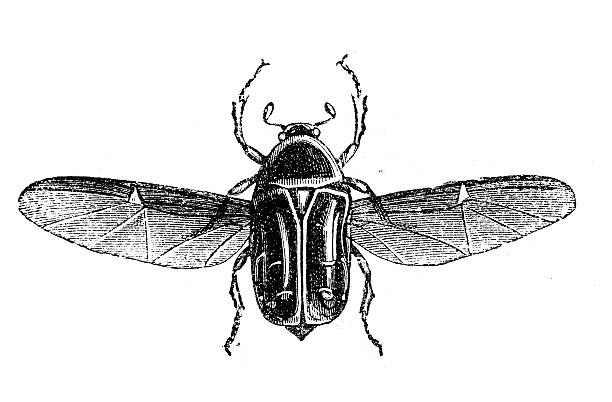 Rose Chafer clipart #16, Download drawings