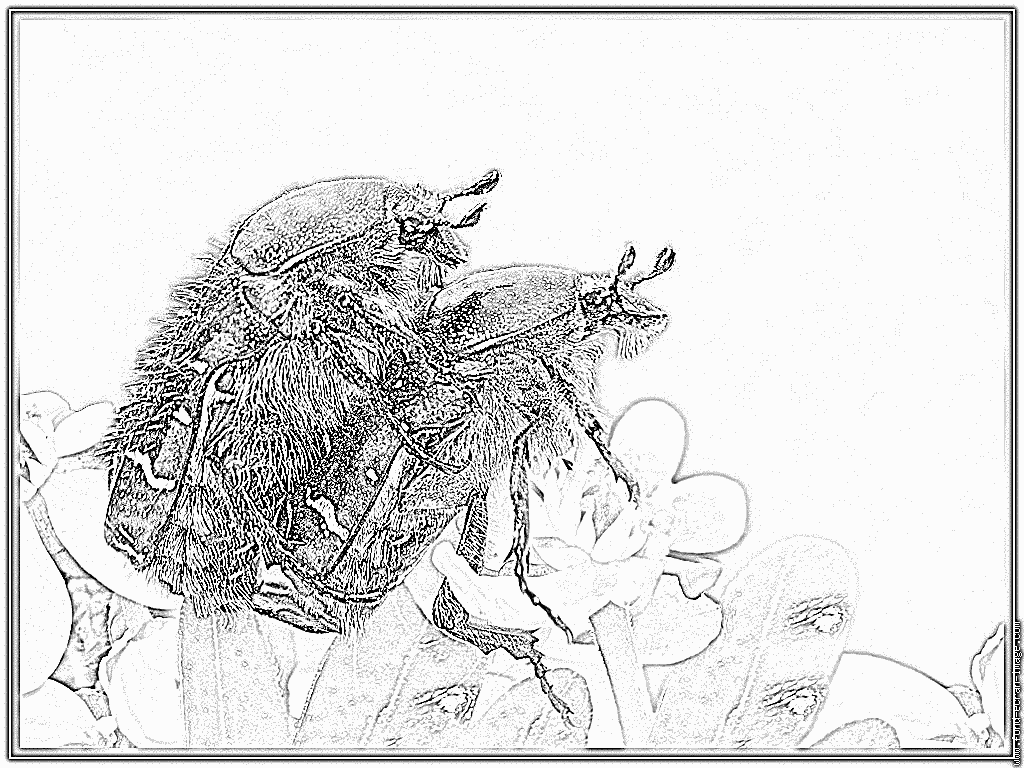 Rose Chafer coloring #10, Download drawings