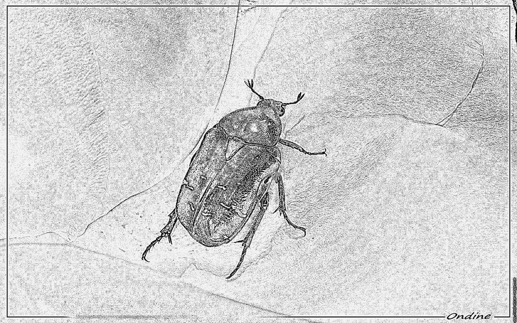Rose Chafer coloring #11, Download drawings