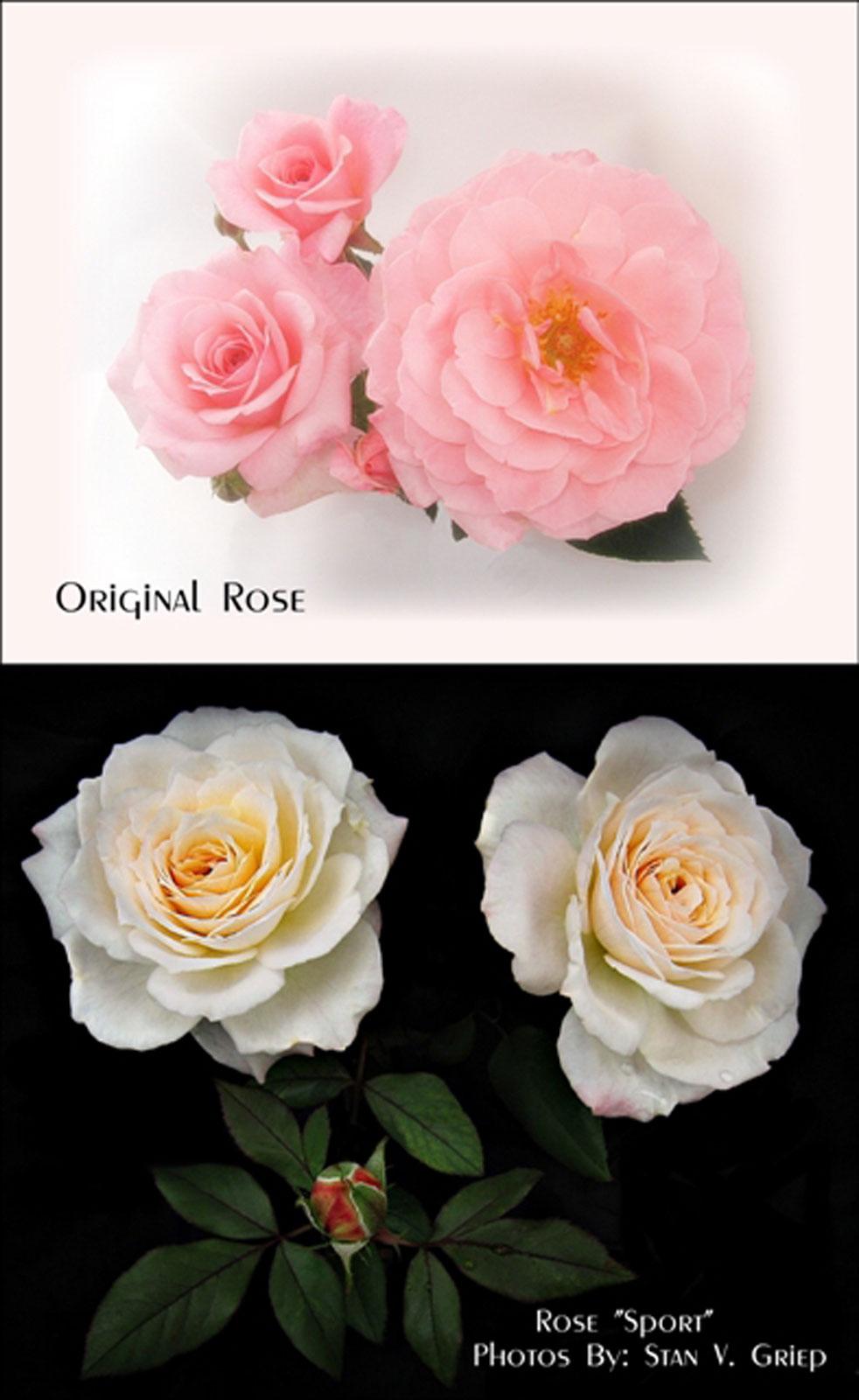 Rose Bush Svg Download Rose Bush Svg For Free 2019