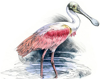 Roseate Spoonbill clipart #17, Download drawings