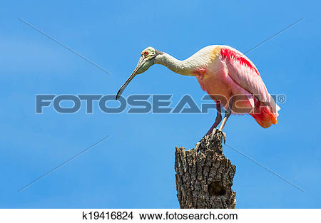 Roseate Spoonbill clipart #10, Download drawings