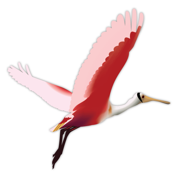Roseate Spoonbill clipart #20, Download drawings