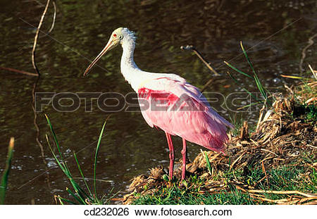 Roseate Spoonbill clipart #14, Download drawings