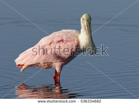 Roseate Spoonbill clipart #18, Download drawings
