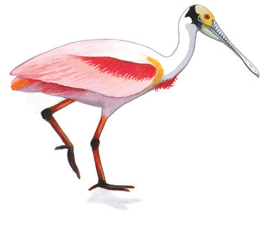 Roseate Spoonbill clipart #1, Download drawings