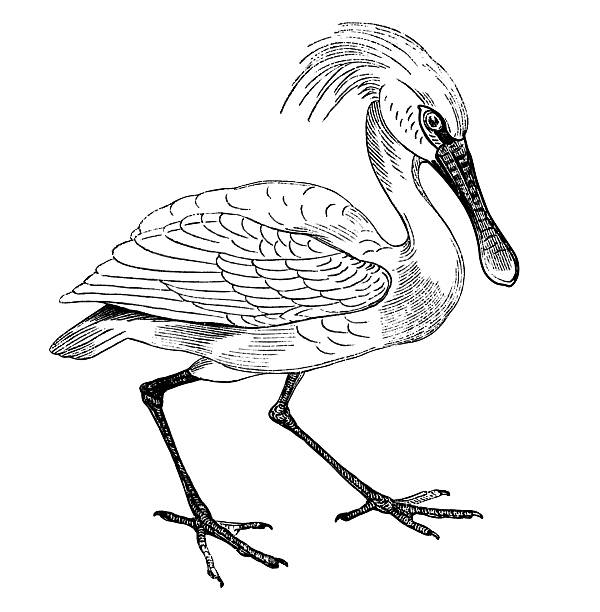 Spoonbill clipart #6, Download drawings