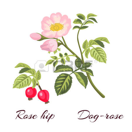 Rose-canina clipart #17, Download drawings