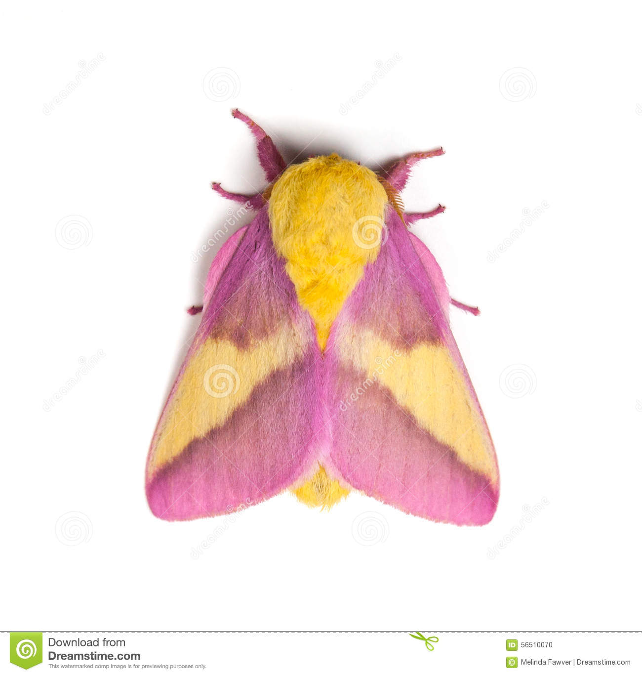Rosy Maple Moth clipart #15, Download drawings