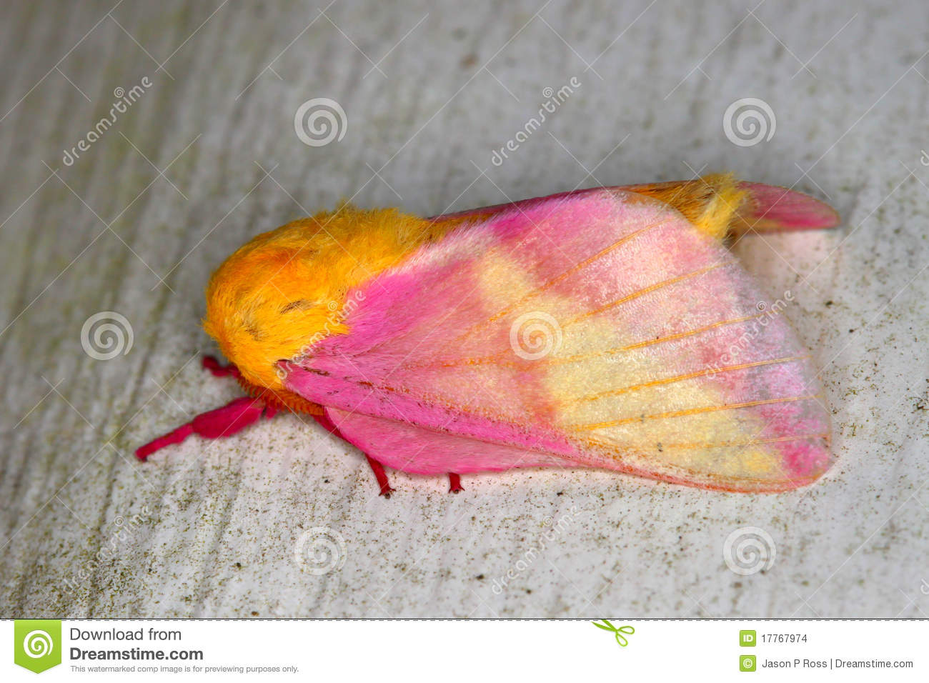 Rosy Maple Moth clipart #10, Download drawings