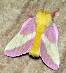 Rosy Maple Moth clipart #16, Download drawings