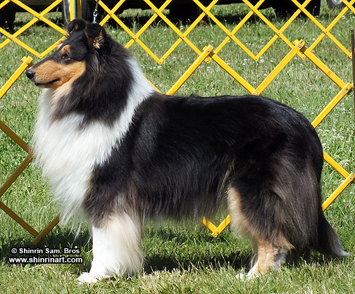 how to draw a rough collie