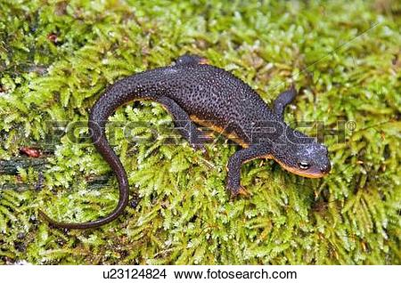 Rough-skinned Newt clipart #20, Download drawings