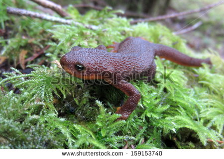Rough-skinned Newt clipart #12, Download drawings