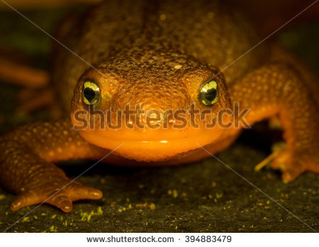 Rough-skinned Newt clipart #3, Download drawings