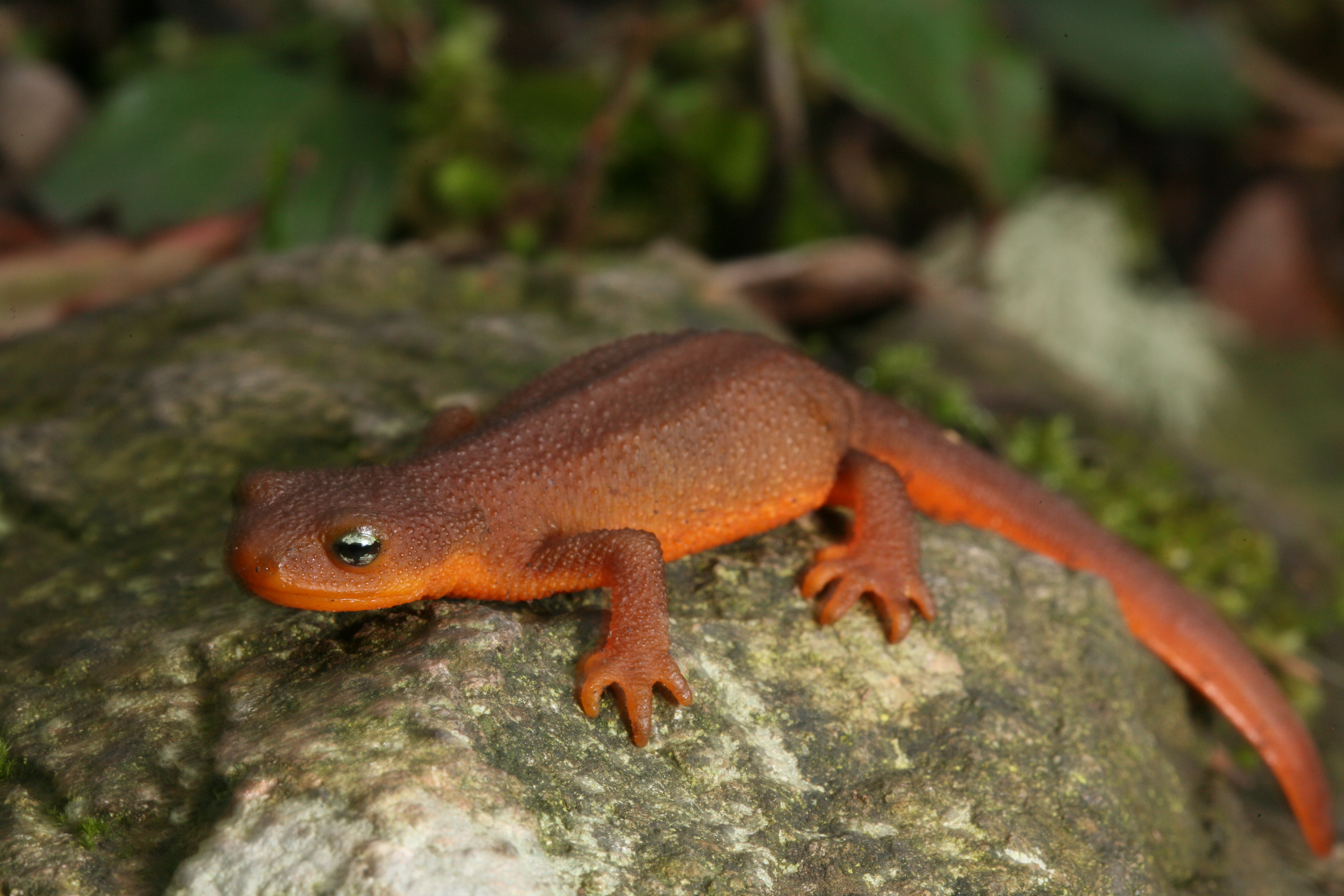 Rough-skinned Newt clipart #4, Download drawings