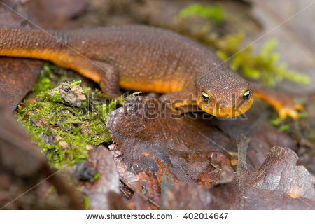 Rough-skinned Newt clipart #10, Download drawings
