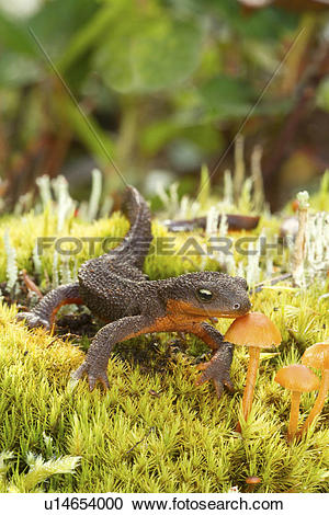 Rough-skinned Newt clipart #9, Download drawings