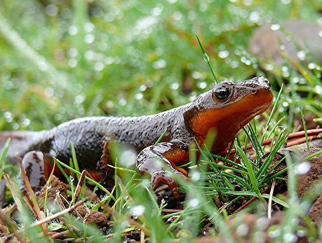 Rough-skinned Newt clipart #5, Download drawings